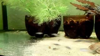 видео Коридорас пигмей