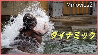 とべ動物園のカバ、ハグラー(オス/30歳)。 プールの中で丸太を押したり...