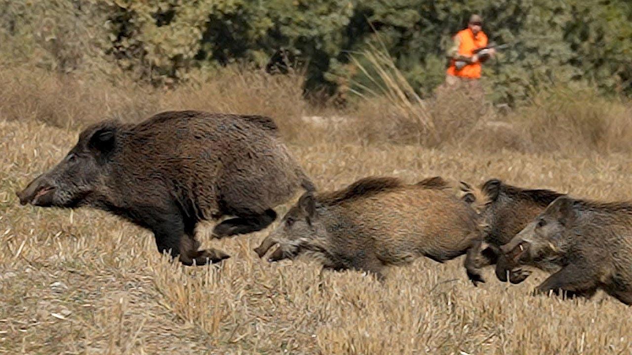 Sürü Anızı Böldü Wildboar Hunting