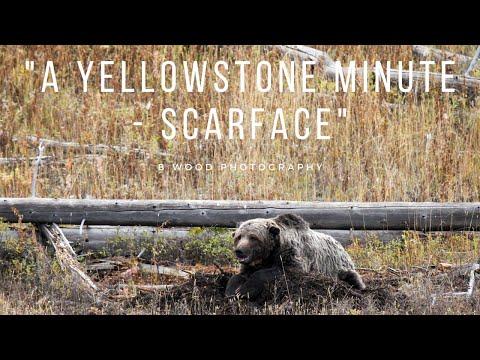 """A Yellowstone Minute - Scarface"""