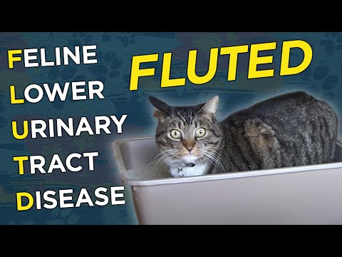 Feline Lower Urinary Tract Disease (FLUTD) - VetVid Episode 008