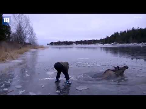 Swedish ice skaters save a moose trapped in a frozen lake