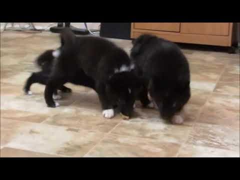 PuppyFinder.com : Toy Alaskan Nanuk puppies (similar to the AKK or Pomsky)