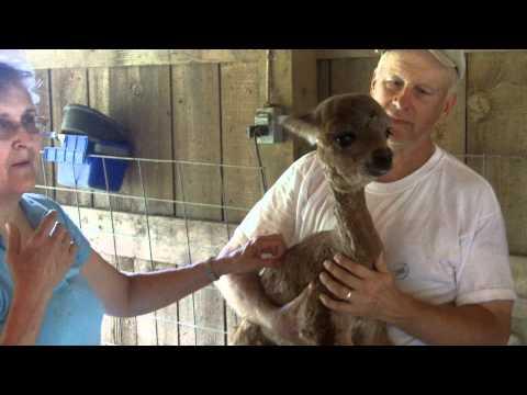 Petting the Baby Alpaca