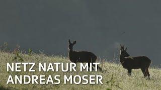Rehbock, ledig, sucht... | NETZ NATUR mit Andreas Moser | Doku | SRF DOK