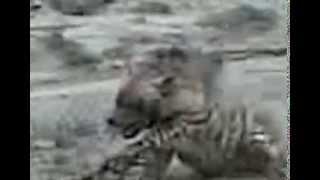 Полосатая гиена в Узбекистане