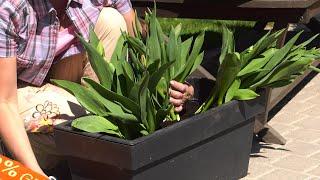 Tulipany - jak uprawiać tulipany w donicach - kwiaty na balkon i taras