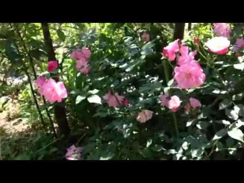 Private rose garden in Tokyo
