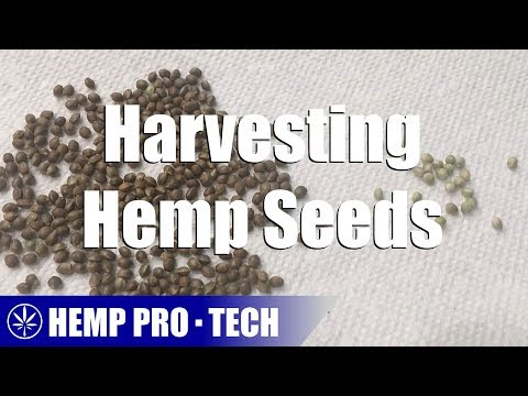 Harvesting Hemp Seeds
