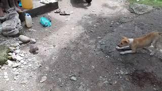 Video Kucing Hutan (Macan) vs anjing !!!Keok'Ko download MP3, 3GP, MP4, WEBM, AVI, FLV Oktober 2018