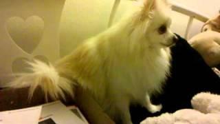 Ferocious Creamy Pomeranian Barking & Growling