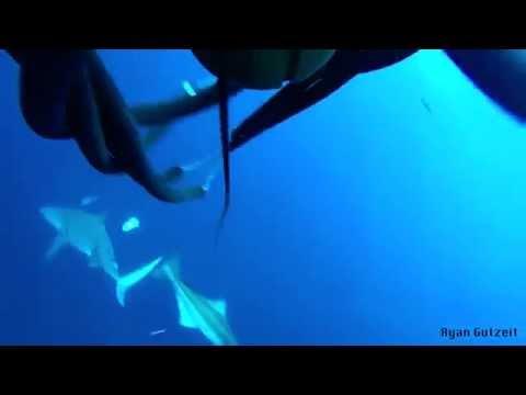 4-4-15 Spearfishing Jupiter Florida - Cobia And Blackfin Tuna