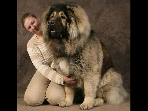 23 Gigantic Dogs Who Think They're Still Lap Dogs - Funny Videos 2015