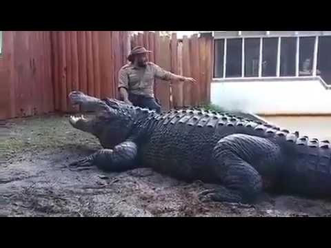 The biggest alligator in the whole world very dangerous reptile as well🙏