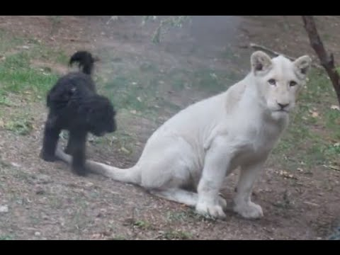White Lion and Dog Playing with a Tree Brunch [NEW HD VIDEO]