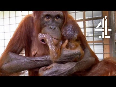 Mother Orangutan's Reunited With Her Kidnapped Daughter | Orangutan Jungle School