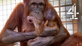 Mother Orangutan's Reunited With Her Kidnapped Daughter | Orangutan Jungle School