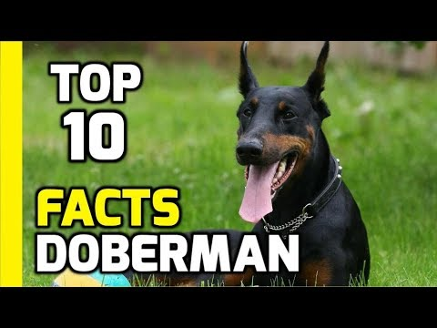 Top 10 facts about Doberman Pinscher (Doberman Dog Breed Information)