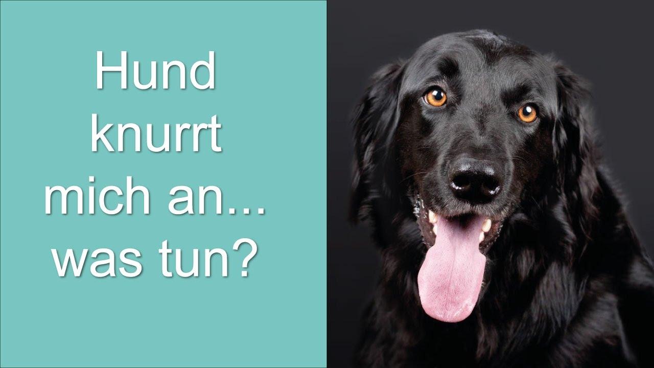 Hund Knurrt Und Schnappt