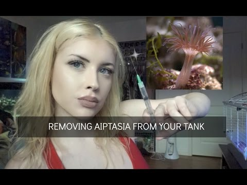 Removing Aiptasia Anemones from Your Tank (I'M IN THE NEWS!)
