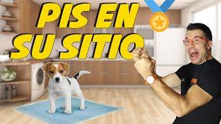 Enseñar a un Cachorro a hacer sus necesidades en el empapador ✌| Cómo Educar Perros