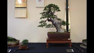Chuhin Sized Japanese Maple