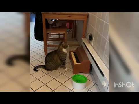 Gato toca piano para pedir comida