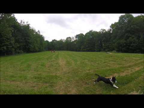 Northeast Miniature Bull Terrier Play Group 6.18.2017 Zippity Dog Runs