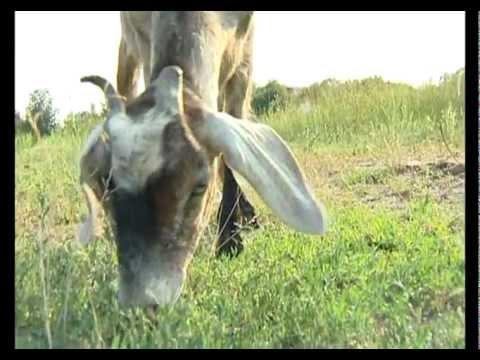 Козы, купить козу дойную, объявления о продаже козлят, козлов