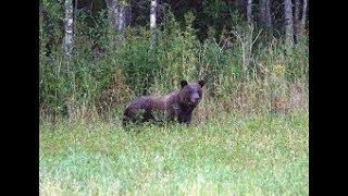 Охота на медведя 2017