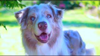 Australian shepherd / Aussie / Smart working dog.