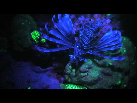 Reef Night Dives Fluorescence Corals Youtube