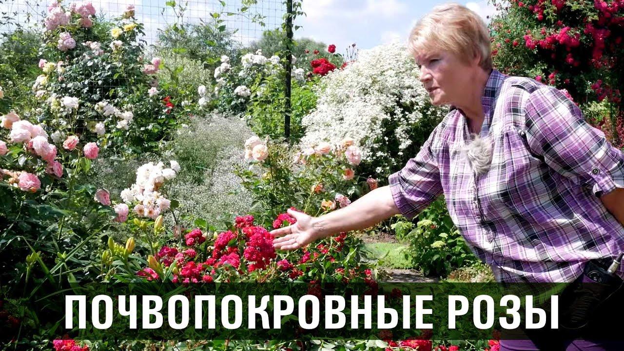 Почвопокровные розы. Сорта и особенности почвопокровных роз.