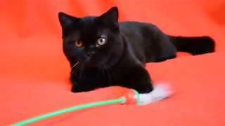 Купить шотландского черного котенка? Предлагаем: шотландские черные котята-мальчики.