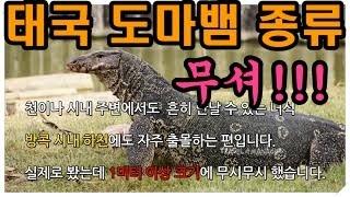 #태국파충류#태국도마뱀#태국이싼( 태국에서 흔히 만날 …