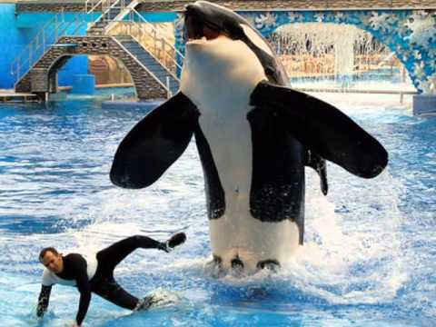 captivity of killer whales Seaworld to phase out killer whale shows, captivity embattled amusement-park operator seaworld said thursday that the killer whales currently living at its facilities will be its last as it will.