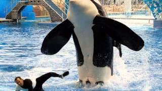 Captivity vs Wild (Killer Whales)