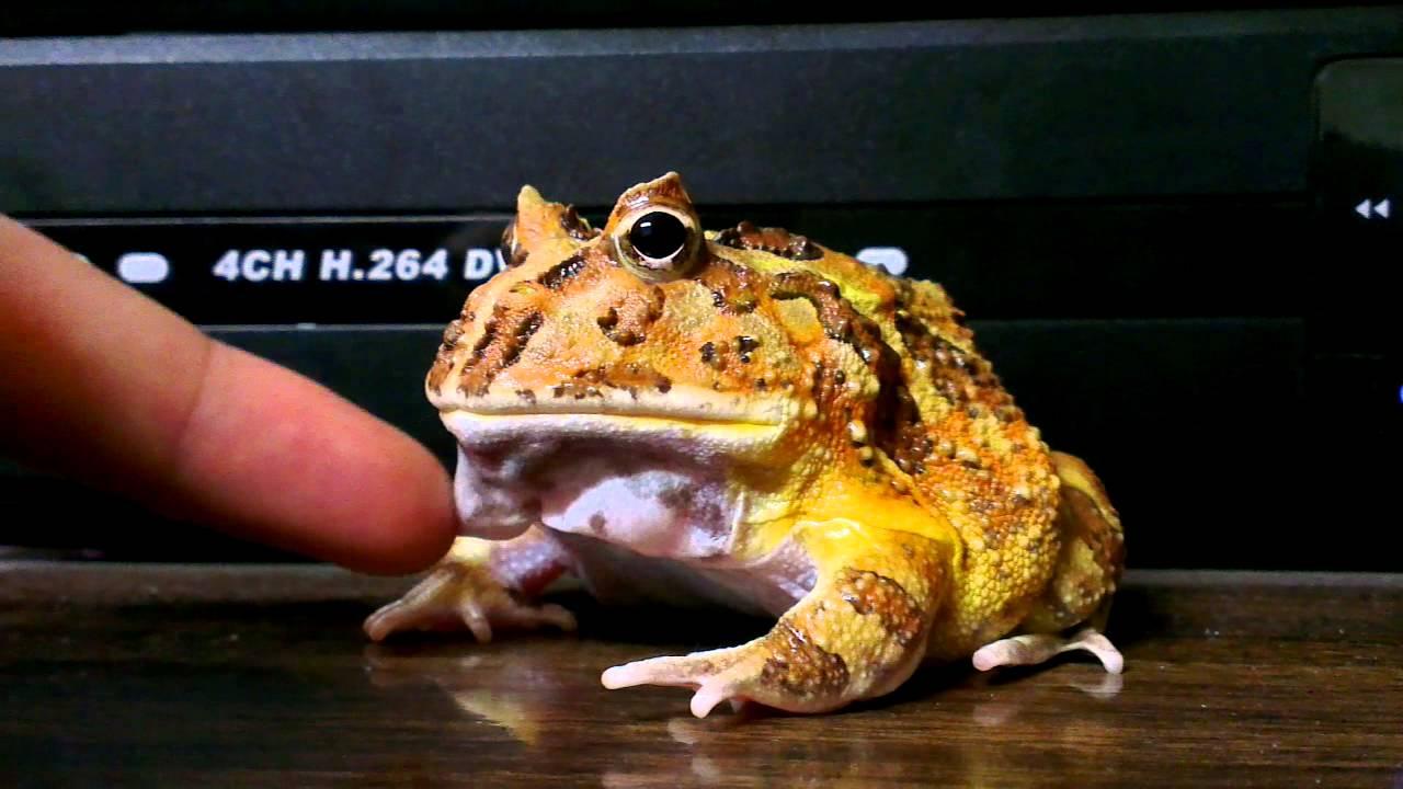 我家的角蛙不咬人 - YouTube