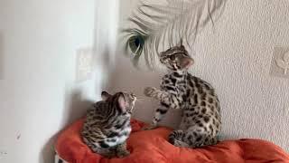 Котобанда играет. Перья фазана и павлина. Азиатские леопардовые кошки и бенгалы.
