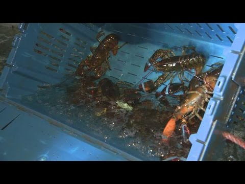 Lobster fishing season comes to an end after low population reported
