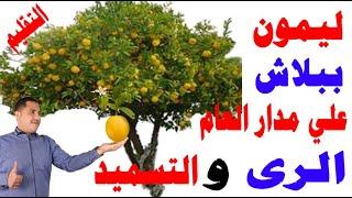 زراعة الليمون الشهري, ازرع شجرة ليمون واحصل على انتاج ليمون على مدار العام, العناية بأشجار الحمضيات
