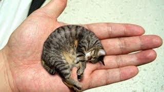 O gato mais pequeno do Mundo