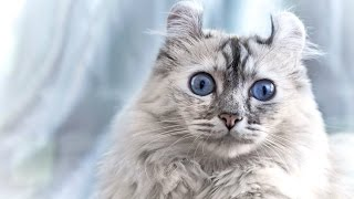 Американский Керл, Породы кошек, описание, уход