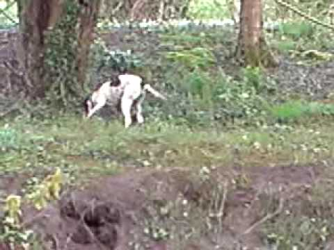 English Pointer retrieving pheasant dummy from river1