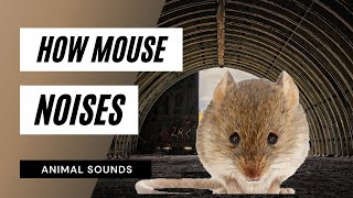 The Animal Sounds: Mouse Squeaking - Sound Effect - Animation