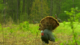 North Carolina Gobblers I Primos Truth About Hunting