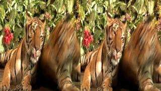 Tigers 3D
