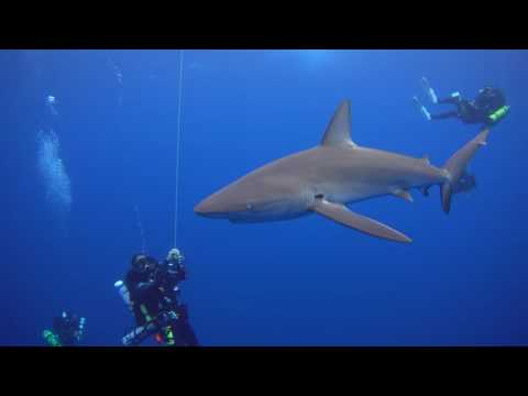 Sharks in the Northwestern Hawaiian Islands