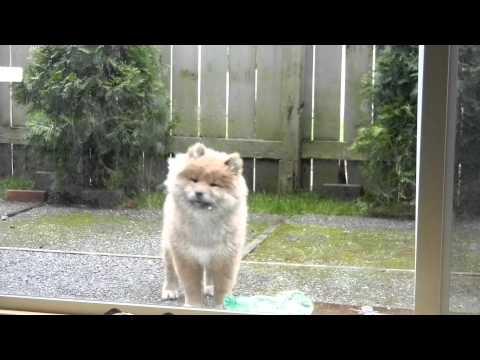 Long Hair Shiba Inu puppy going crazy