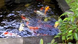 Ikan Koi Di Kolam Sederhana Samping Rumah